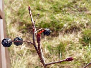 Blattaustrieb Aronia: Die letzten Vorjahresbeeren hängen noch