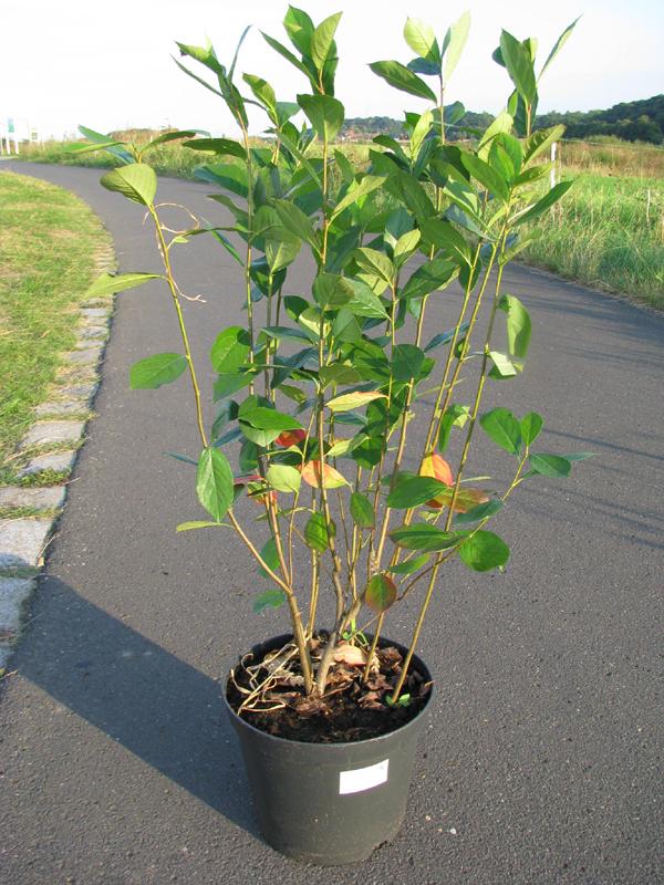 Aronia melanocarpa nero im Pflanztopf