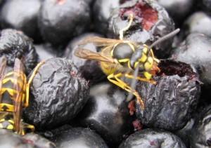 Wespe bohrt Loch in Aronia