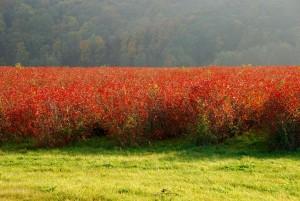 rote Laubfärbung der Coswiger Plantage