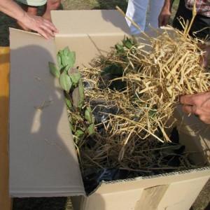 Aroniapflanzen Versandkarton