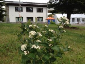 Aronia Blüte in Oberwiesenthal