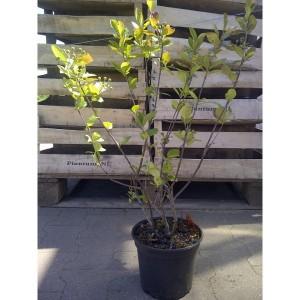 "4jährige Aronia Pflanze Nero ""Superberry"" - tolles Angebot!"
