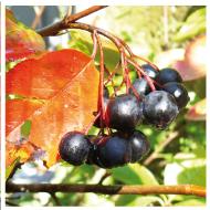 Bis in den Spätherbst hinein finden sich noch reife Beeren an den Aroniasträuchern - es sei denn, die Vögel waren schneller. Dafür leuchtet das Laub jetzt im herblichen Rot.