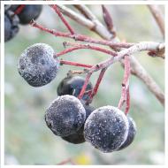 Aroniapflanzen halten Frostperioden von bis zu -30°C aus.