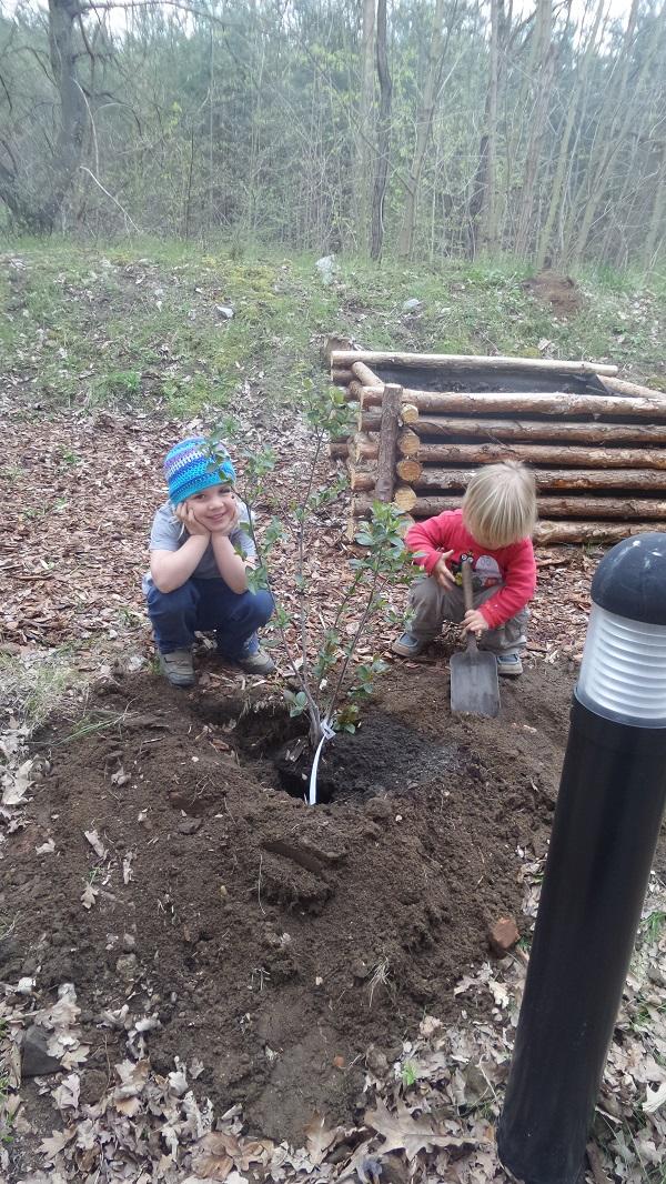 Aroniapflanzen-Schule-eingraben