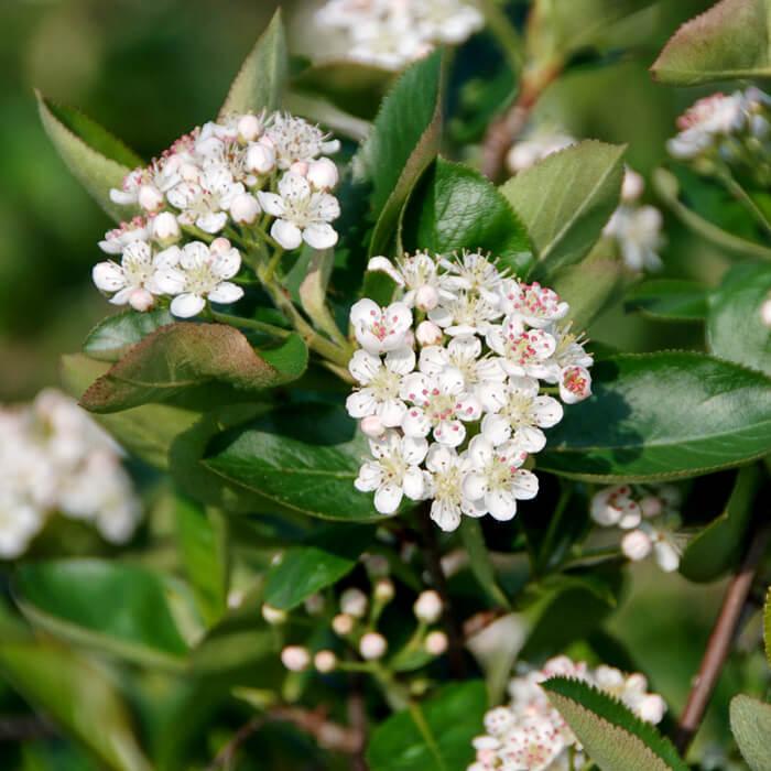 Seitenfoto: Aronia Pflanze Blüte im Frühling