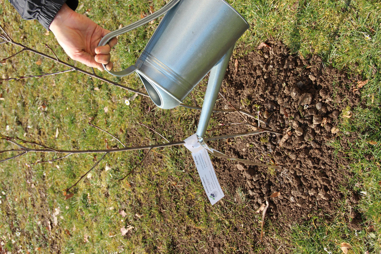 Aroniapflanze im Garten (Aronia ORIGINAL)
