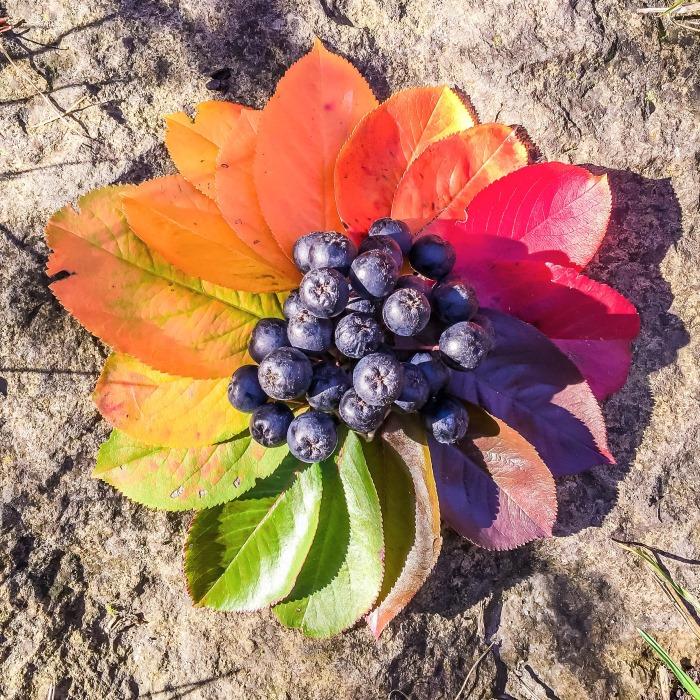 Seitenfoto: Aronia Pflanze Laubfärbung im Herbst