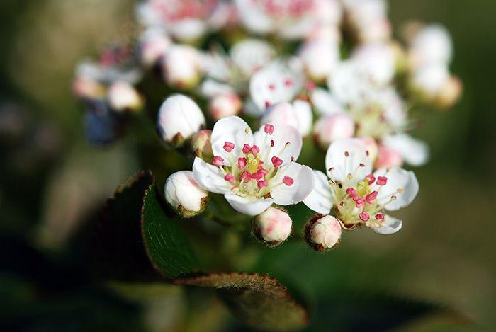 Blüte der Aroniabeere (Aronia ORIGINAL)