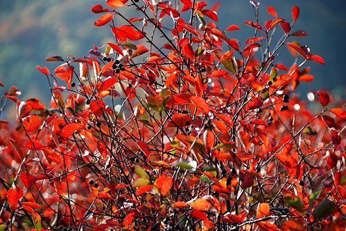 Pressebild: Aroniapflanzen im Herbst