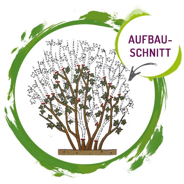 Seitenbild: Pflanzenanleitung - Aronia Aufbauschnitt
