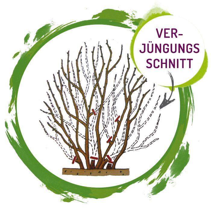 Seitenbild: Pflanzenanleitung - Aronia Verjüngungsschnitt
