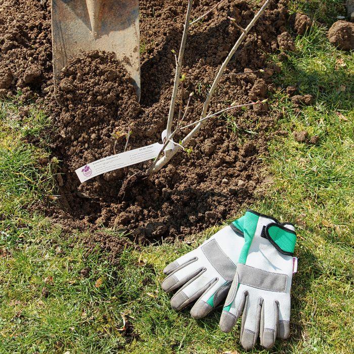 Bild: Pflanzanleitung für wurzelnackte Pflanzen