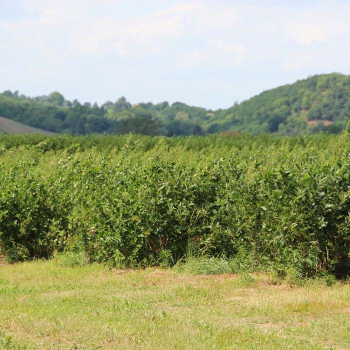 Seitenfoto: Bio Aroniaplantage in Coswig