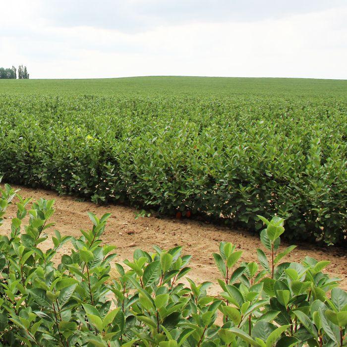 Seitenfoto: Bio Aroniaplantage in Naundörfel