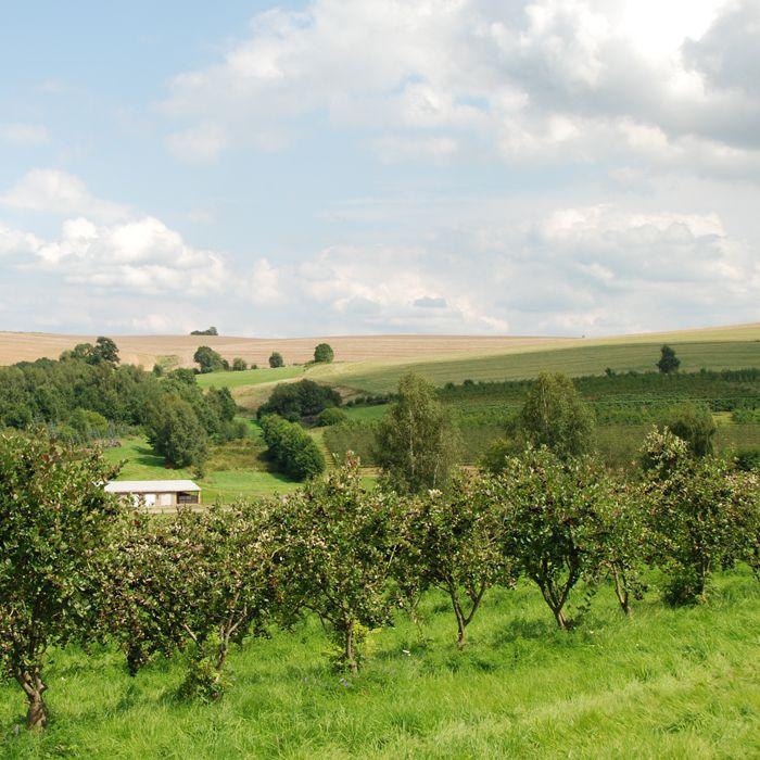 Seitenfoto: Aroniaplantage Stolpen mit Halbstämmchen