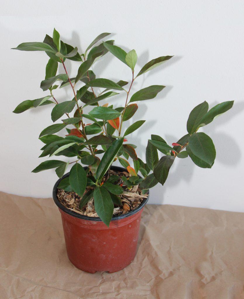 Aronia auf Balkon pflanzen – 10 Tipps für ein gutes Gedeihen Ihrer Aroniapflanze