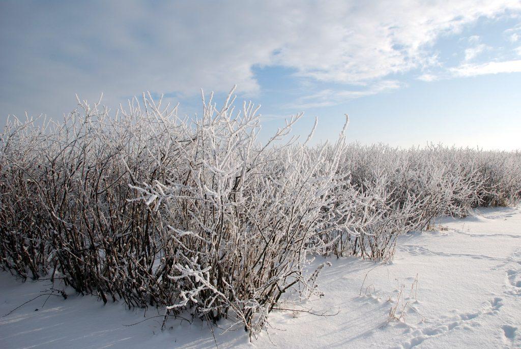 Wie Aroniapflanzen selbst Tiefsttemperaturen von minus 35 Grad überstehen