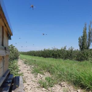 Die Bio-Aroniaplantage der Bioobst GbR Naundörfel ist neuer Arbeitsplatz von insgesamt 12 Bienenvölkern. ©Martin Naumann