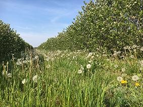 Bunte Blühstreifen zwischen unseren Aroniapflanzen bieten noch mehr Bienennahrung.